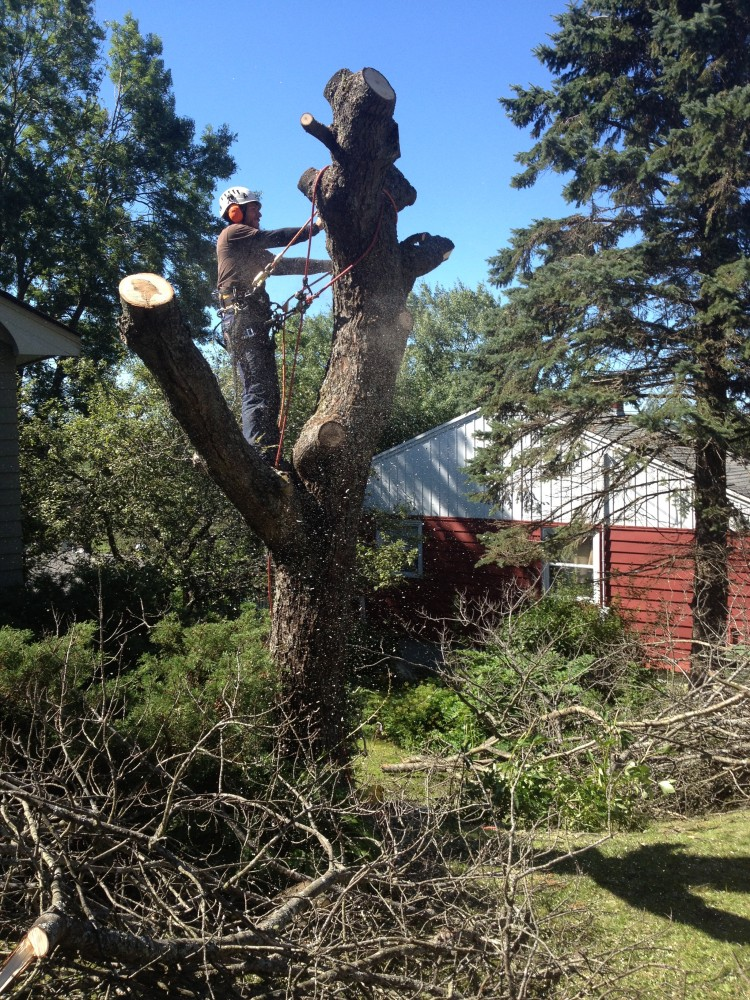 Full Removal of Norway Maple 10