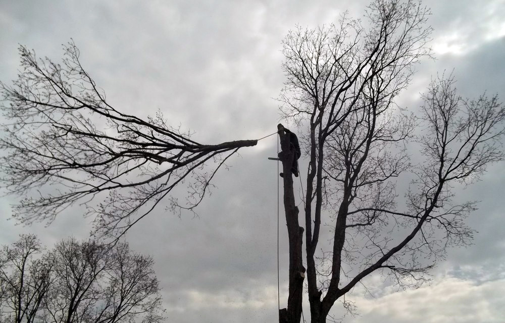 Full removal of Sugar Maple 13